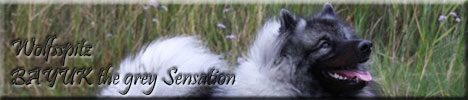 files/liebhaber/Grafiken/Zuechterbanner 468/Wolfsspitz-Bayuk-the-grey-Sensation.jpg