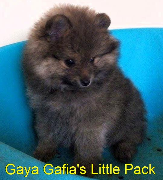 """Gafia's Little Pack"" G-Wurf"
